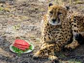 Hipster Cheetah with antelope steak
